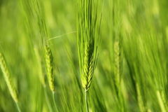 Green Young Wheat Stock Image