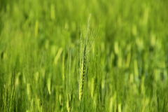 Green Young Wheat Royalty Free Stock Images