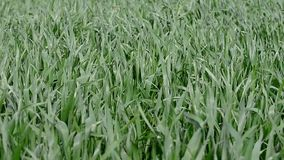 Green young wheat plants in the wind stock video footage