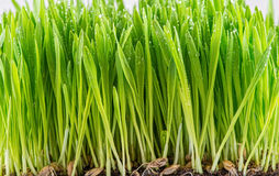 Green young wheat sprout Stock Photo
