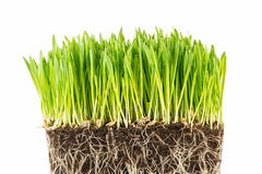 Green young wheat sprout Royalty Free Stock Images