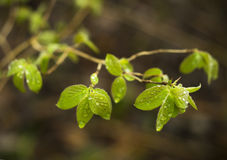 Green young wild raspberry (Rubus idaeus) leaf stock photography
