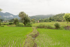 A green younger rice growing up in the rice fields. In rainy seasons of thailand there have green younger rice growing up in the rice fields in Northern part of Stock Images