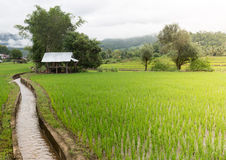 A green younger rice growing up in the rice fields. In rainy seasons of thailand there have green younger rice growing up in the rice fields in Northern part of Stock Photos