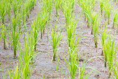 A green younger rice growing up in the rice fields. In rainy seasons of thailand there have green younger rice growing up in the rice fields in Northern part of Royalty Free Stock Photo