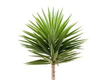 Green Yucca plant isolated on white. Background royalty free stock photography