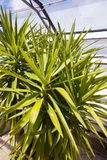 Yuka plant close up image. Green Yuka plant flower in the greenhouse with long green leaves Royalty Free Stock Photo