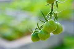 Green Zebra tomatoes. Organic Green Zebra tomatoes growing on the vine, isolated by shallow depth of field Royalty Free Stock Photos