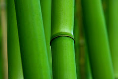 Green Zen Bamboo Plants Stock Photography