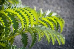 The green zigzag. Zigzag pattern on a green plant leaf in sunlight stock image