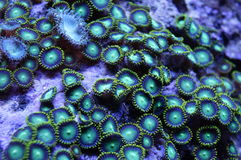 Green Zoanthid Coral Colony. Detail of bright green and yellow zoanthid coral colony underwater Royalty Free Stock Photos