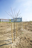 Green zone in the metropolis. Seedlings of trees are planted in rows. Against the background of high-rise buildings. The tree is planted in the ground and Stock Photos