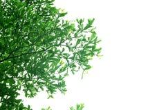 green zostało białe tło Zdjęcia Royalty Free