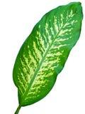 green zostało białe tło fotografia stock