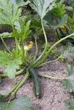 Green zucchini embryo Royalty Free Stock Photography