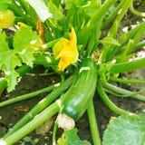 Green zucchini in garden Royalty Free Stock Photos