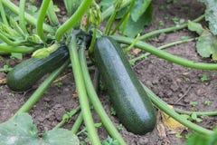 Green zucchini growing in garden Stock Images