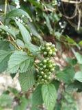 Greenary frukter och sidor arkivbilder