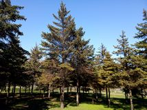 Greenb Christmas trees on sunny day in park. Greenb christmas trees sunny day park royalty free stock photos