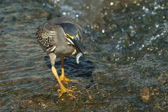 Greenback Heron fishing Stock Image
