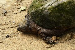 Greenback Snapping Turtle Set royalty free stock photos