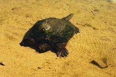 Greenback Snapping Turtle Set royalty free stock photography
