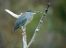Greenbacked Heron Stock Photo