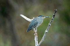 greenbacked heron Obrazy Stock