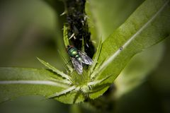Greenbottle and Aphids Stock Photos