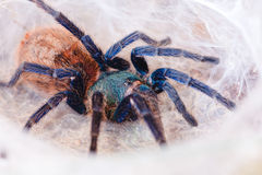 Greenbottle Blue Tarantula Royalty Free Stock Photo