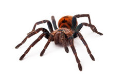 Greenbottle Blue Tarantula Front View Stock Photos
