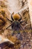 Greenbottle blue tarantula Royalty Free Stock Image