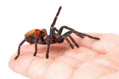 Greenbottle Blue Tarantula Spider in Hand. A friendly and tame pet tarantula spider crawling in the hand of a man Stock Photo