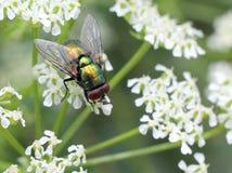 Greenbottle-Fliege auf Wiesen-Kerbel Stockfotografie