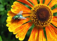 Greenbottle on Flower royalty free stock photo