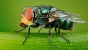 Greenbottle fluga Fotografering för Bildbyråer