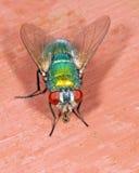 Greenbottle fly Stock Image