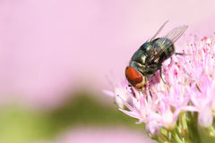 Greenbottle fly. The close-up of a greenbottle fly on pink flowers Royalty Free Stock Photography
