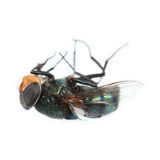 Greenbottle fly isolated on white Royalty Free Stock Photo