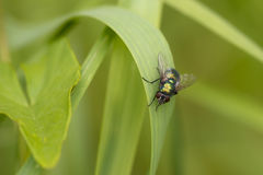 Greenbottle Fly Royalty Free Stock Photos