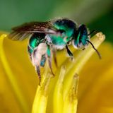 Greenbottle fly stock photo