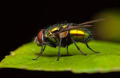 Greenbottle fly Royalty Free Stock Photography