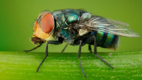 Greenbottle fly. A side view of Greenbottle fly Stock Image