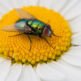 Greenbottle Glow. A greenbottle glows in the sun while sitting on an ox eye daisy Royalty Free Stock Photo
