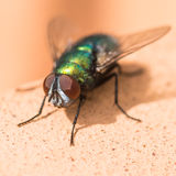 Greenbottle. A macro shot of a fly sitting on a terracotta pot Stock Images