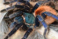 Greenbottle tarantula (Chromatopelma cyaneopubescens) Royalty Free Stock Photography