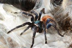 Greenbottle tarantula (Chromatopelma cyaneopubescens) Stock Images