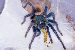 Greenbottle tarantula (Chromatopelma cyaneopubescens) Royalty Free Stock Photos