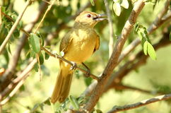Uccelli africani del sud Fotografia Stock Libera da Diritti
