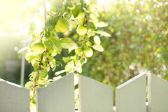 Greener on the Othe rside. Green Fresh Apples Growing Behind a Fence Royalty Free Stock Photography